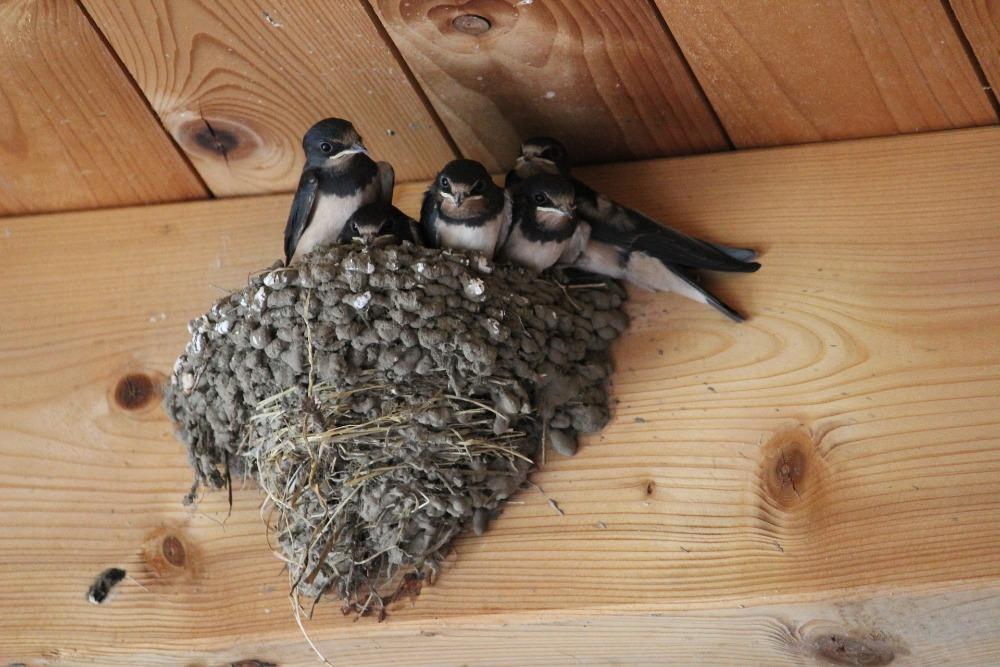 Schwalben-Nest im Stall